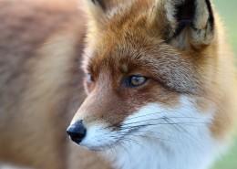狡猾的尖嘴狐狸图片(9张)