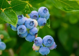 树枝上的蓝莓图片(15张)