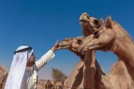 阿拉伯男人和骆驼与城市景观图片(15张)