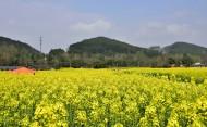 四川崇州油菜花风景图片(5张)
