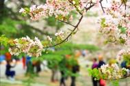 北京玉渊潭公园樱花风景图片(11张)