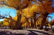 内蒙古额济纳旗胡杨林风景图片(16张)