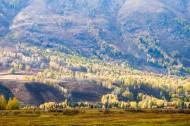 新疆禾木白桦林风景图片(11张)