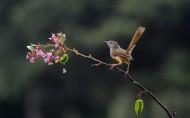 山鹪莺鸟类图片(7张)