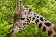 可爱的长颈鹿图片(14张)