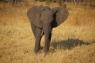 一头野生大象图片(16张)