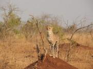 迅猛的猎豹图片(9张)