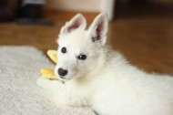 纯白的小狗图片(11张)
