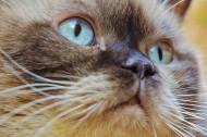 体形圆胖的英国短毛猫图片(15张)