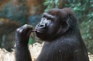 呆萌的大猩猩图片(13张)