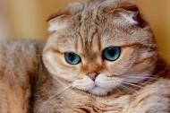 萌宠苏格兰折耳猫图片(8张)
