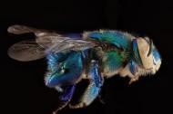 蜜蜂图片(16张)