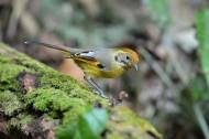 斑喉希鹛鸟类图片(7张)