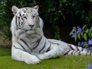 白色孟加拉虎图片(14张)
