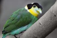 长尾阔嘴鸟图片(6张)