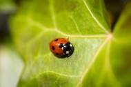 美丽的瓢虫图片(13张)