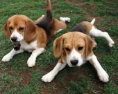 比格犬图片(17张)