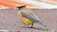 太平鸟图片(6张)