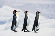 高清企鹅接吻搞笑图片(12张)