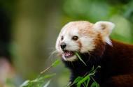 小熊猫图片(9张)
