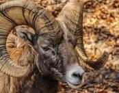 螺旋状大角的大角羊图片(12张)