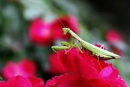 牡丹花上的螳螂图片(8张)