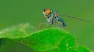 长足虻图片(7张)