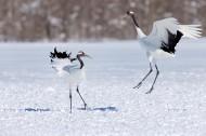 白色的丹顶鹤鸟类图片(8张)