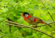 可爱相思雀鸟类图片(11张)