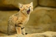 沙丘猫图片(10张)