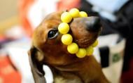 可爱的腊肠犬图片(14张)