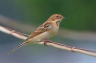 苇鹀鸟类图片(5张)