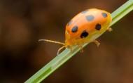 十星瓢萤叶甲图片(6张)