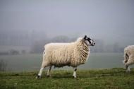 圆润可爱的绵羊图片(11张)