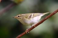 黄眉柳莺图片(5张)