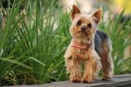 约克夏梗犬图片(10张)