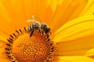 一只采蜜的蜜蜂图片(10张)