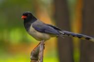 红嘴蓝鹊图片(9张)