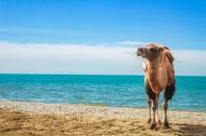 沙漠中骑行的骆驼图片(14张)