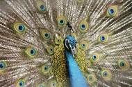 美丽的孔雀开屏图片(6张)
