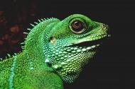 各种颜色的蜥蜴图片(26张)
