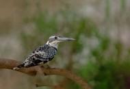 斑鱼狗鸟类图片(8张)
