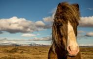 纯洁血统的冰岛马图片(15张)