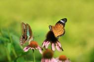 蝴蝶图片(10张)