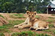 可爱的小狮子图片(13张)