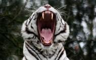 威武霸气的白虎图片(11张)