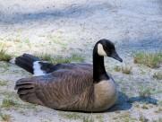 行走的鸭子图片(10张)