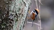 红头长尾山雀图片(18张)