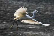 白鹭图片(8张)