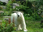 强壮的北极熊图片(12张)